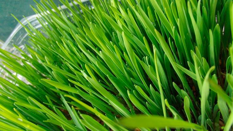 weizengrass1